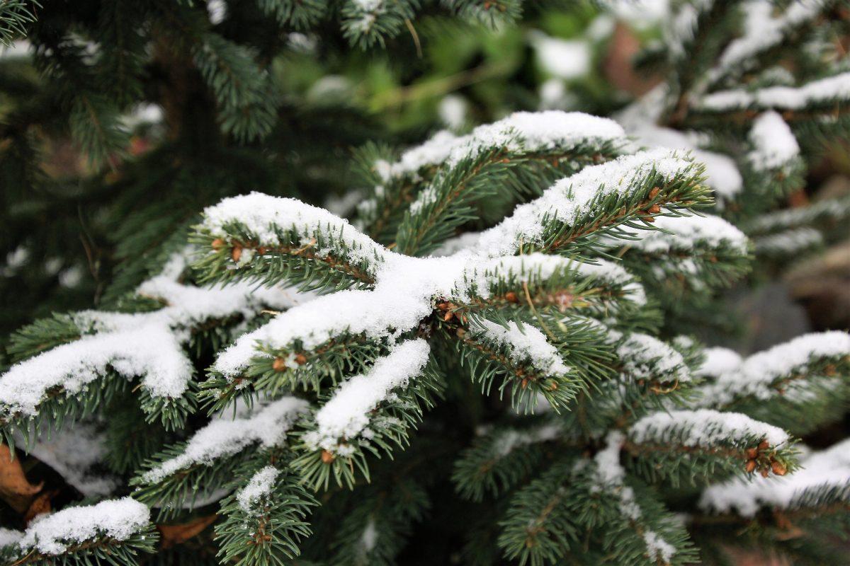 Nordmanntanne Weihnachtsbäume Barsbüttel Willinghusen